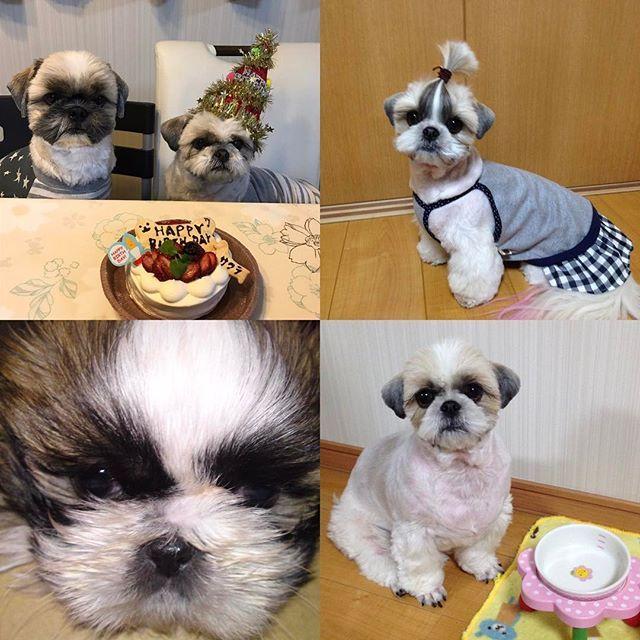 【sakuharu48】さんのInstagramをピンしています。 《HAPPY BIRTHDAY桜🎉 我が家の可愛い桜が今日7歳になりました😊 私の大切な可愛い子💕 いつまでも元気で長生きしてね❗️ #shihtzu #shihtzulovers #shihtzustagram #dog #dogstagram #シーズー #シーズー大好き部 #鼻ぺちゃ #桜》