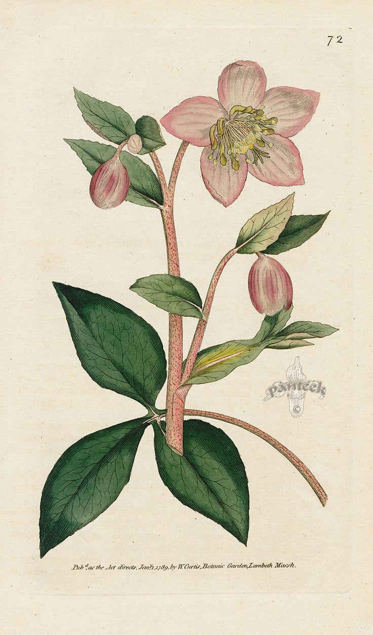best Vintage Botanicals images on Pinterest Botanical drawings