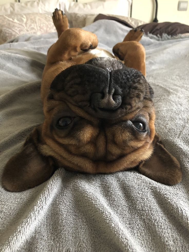 """Hey Hooman, why you upside down?"", funny French Bulldog"