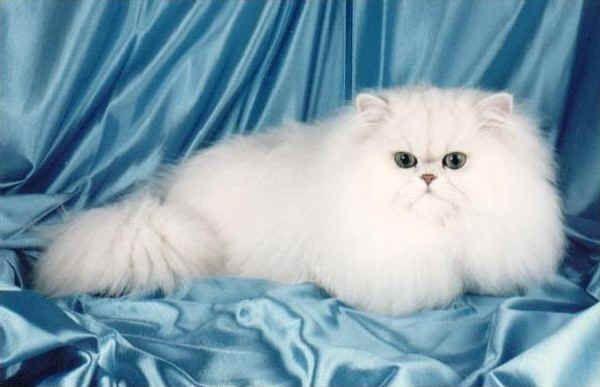 Gatto Chinchilla ---- E' un gatto tenero ed affettuoso, discreto a volte. Ama essere tenuto tra le braccia del proprio padrone. Si dimostra affettuoso con tutta la famiglia. Si può classificare un gatto da salotto, si adatta benissimo alla vita casalinga. Non si può sfuggire alla seduzione dei suoi occhi verdi smeraldo truccati di nero.Ha un carattere vivace, curioso.  Mai aggressivo, con persone e con altri animali.