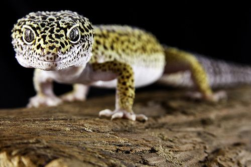 Mejores 139 imágenes de ❤Reptile\'s en Pinterest | Reptiles ...