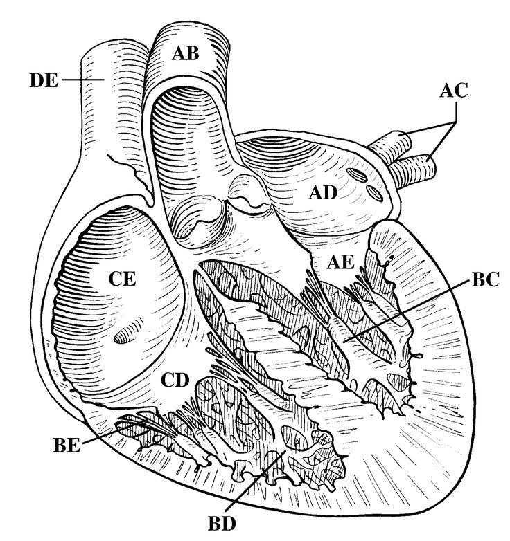 Heart Diagram Unlabeled Black and White HDU05 | Heart ...