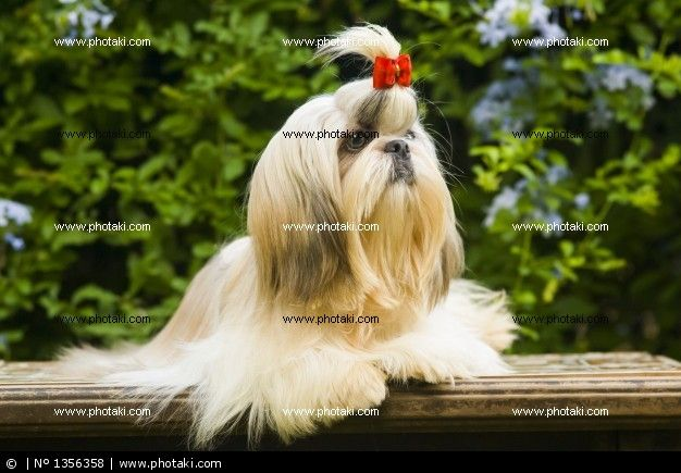 http://www.photaki.com/picture-lhasa-apso-dog-breed_1356358.htm