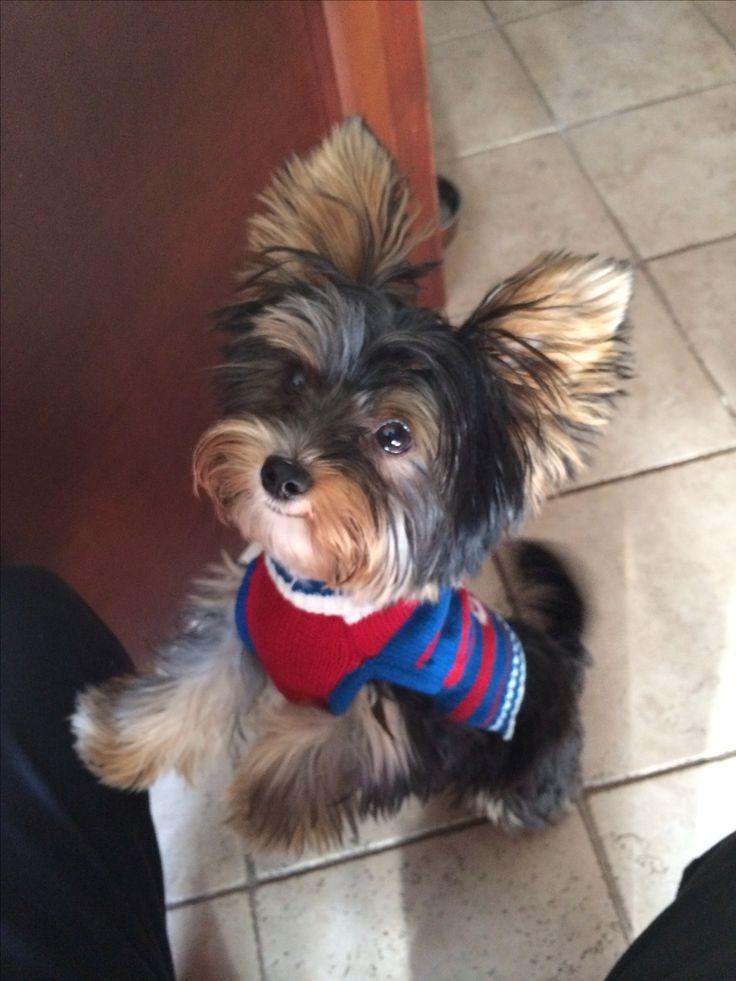 Puppy prep school attire. Yorkshire Terrier. Yorkie. Puppy.