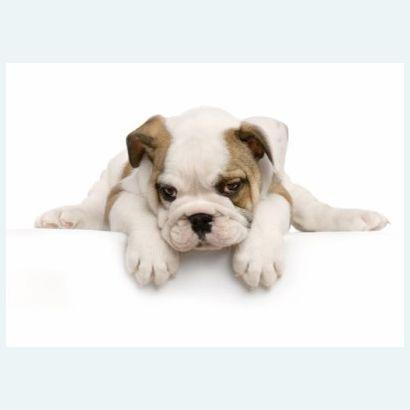 Bulldog #postcards