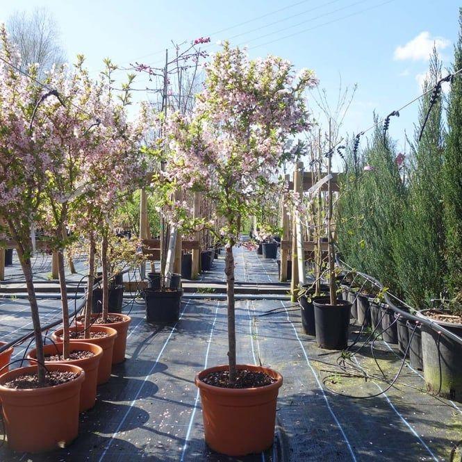 Prunus Incisa Kojo No Mai Tree Patio Garden Ornamental Trees Small Trees