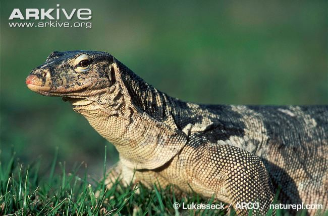Asian water monitor lizard videos, photos and facts - Varanus salvator | ARKive