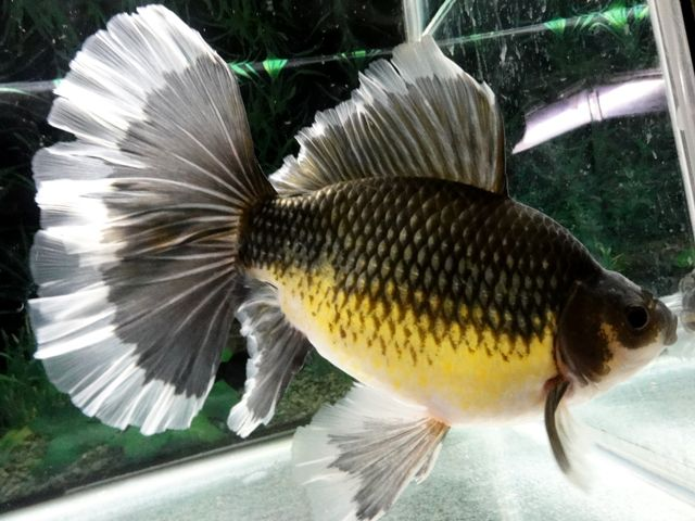 Green bristol shubunkin goldfish fancy goldfish for Outdoor goldfish for sale