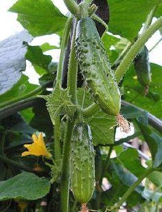 Cultiver des concombres : guide pratique : Le concombre est un légume rafraîchissant auquel il faut réserver un coin ensoleillé de son potager. Voici quelques conseils pratiques pour cultiver des concombres.
