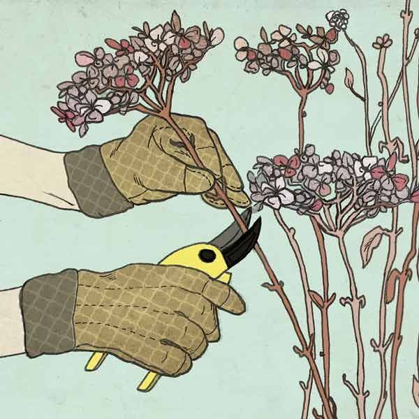 illustration of how to prune new wood flowers from hydrangea bushes, all about hydrangeas