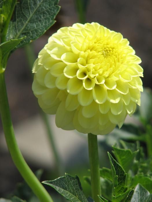 yellow dahlia flower - photo #14