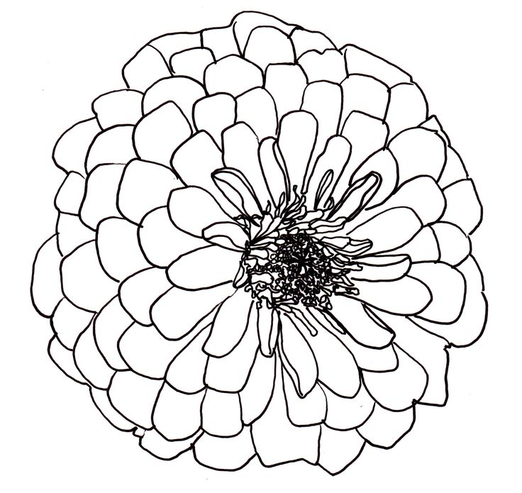 Zinnia Line Drawing : Line drawing flowers dahlia drawings pinterest