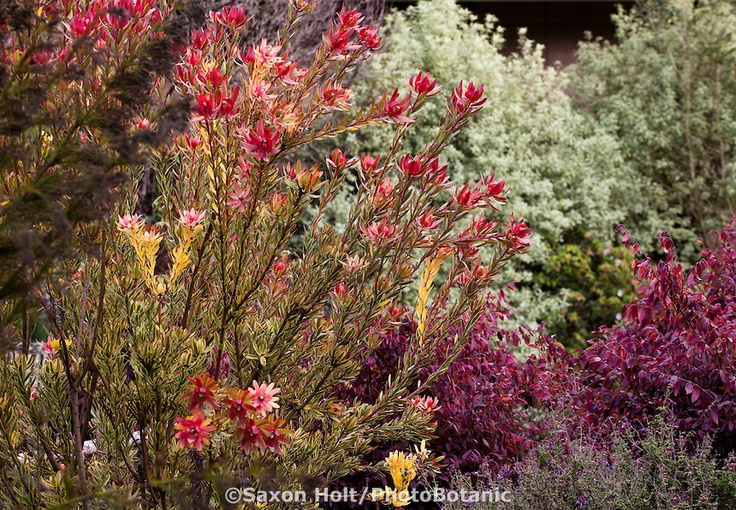Leucadendron 'Safari Sunset', drought tolerant Australian native evergreen shrub flowering in San Francisco Botanical Garden