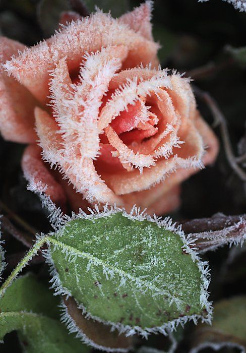 Beautiful rose frozen in time****Follow our unique garden themed boards at www.pinterest.com/earthwormtec *****Follow us on www.facebook.com/earthwormtec for great organic gardening tips #frosty