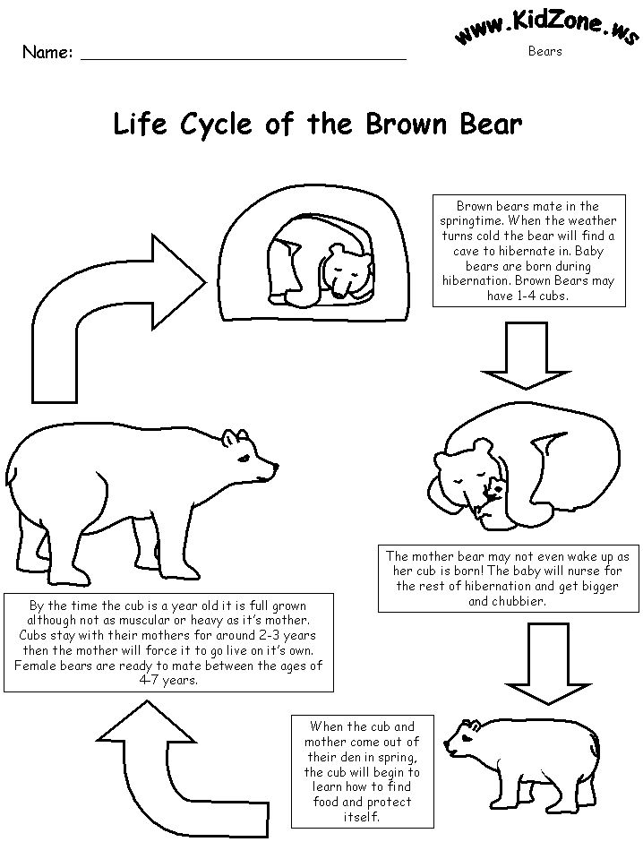 Life cycle of the brown bear