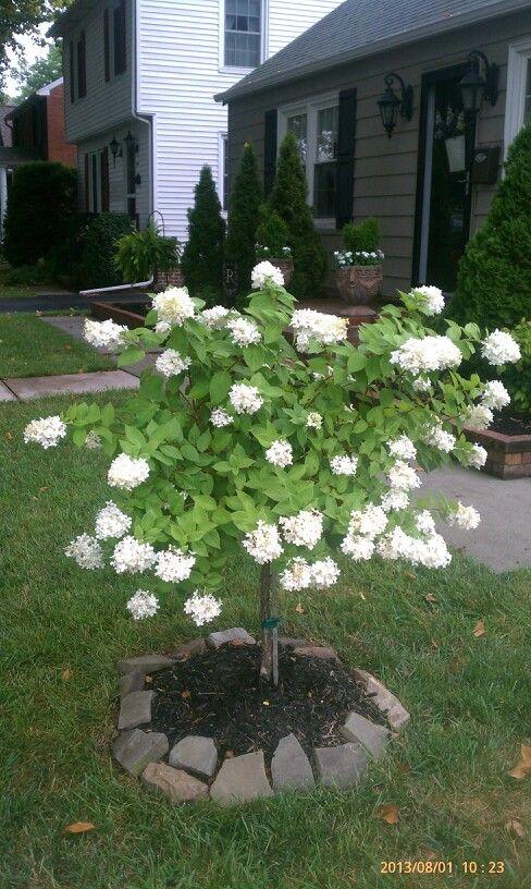 Weeping White Hydrangea Tree