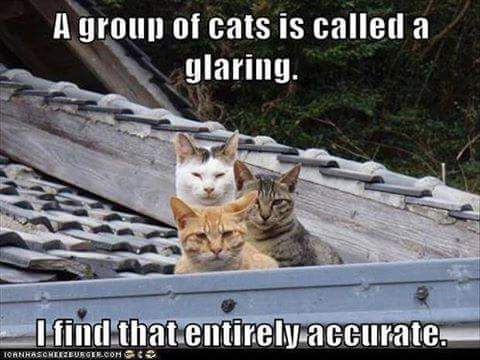 A group of cats is called a glaring