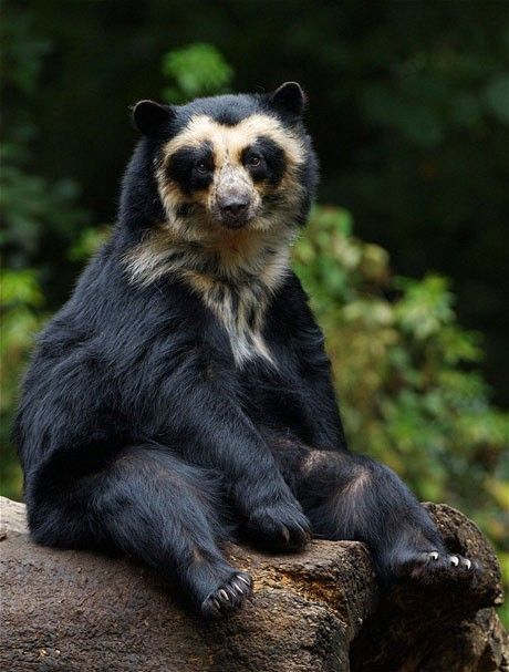 Spectacled Bear - Oso de Anteojos. Endangered Specie