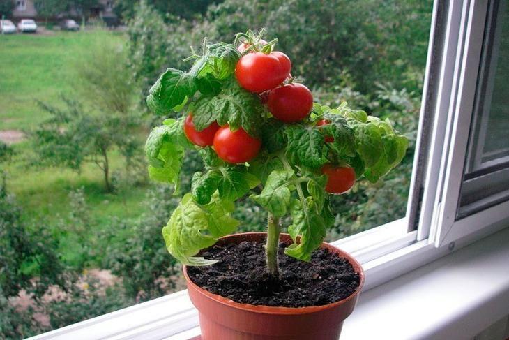 Вы, наверное, не раз в магазинах видели помидорки черри. Они обычно лежат в небольшой корзинке и выглядят просто превосходно. Такие овощи могут украсить множество блюд и внести в них пикантную нотку. ...