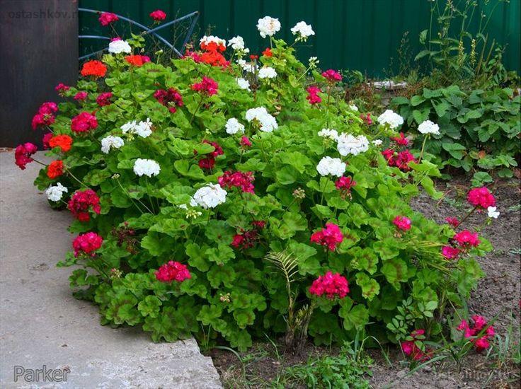 этот пеларгония в саду фото полезны они тех
