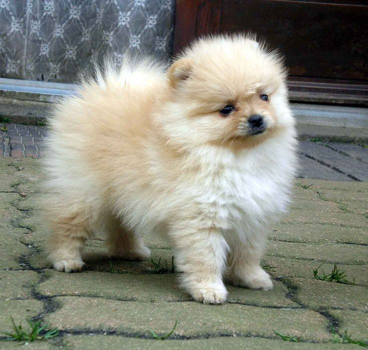 fat pomeranian spitz loulou de pomeranie loving animals pinterest 3771