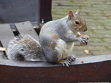 The eastern grey squirrel is considered an invasive species in the UK