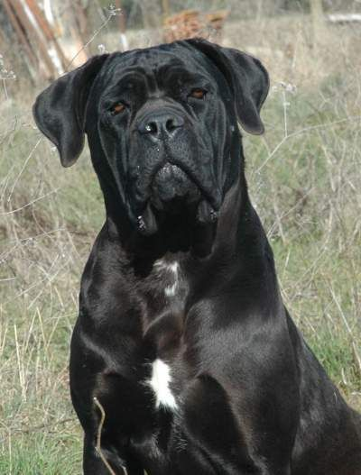 Cane Corso, I so want one!!!!