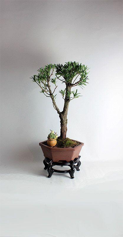 "Pringles Podocarpus bonsai tree""Winter Conifer Collection by LiveBonsai Tree by LiveBonsaiTree on Etsy"
