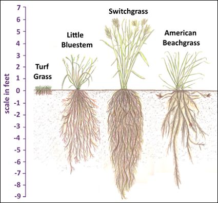 Turf grass has a very shallow root system compared to these other plants recommended for erosion control.