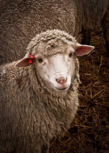 love sheep