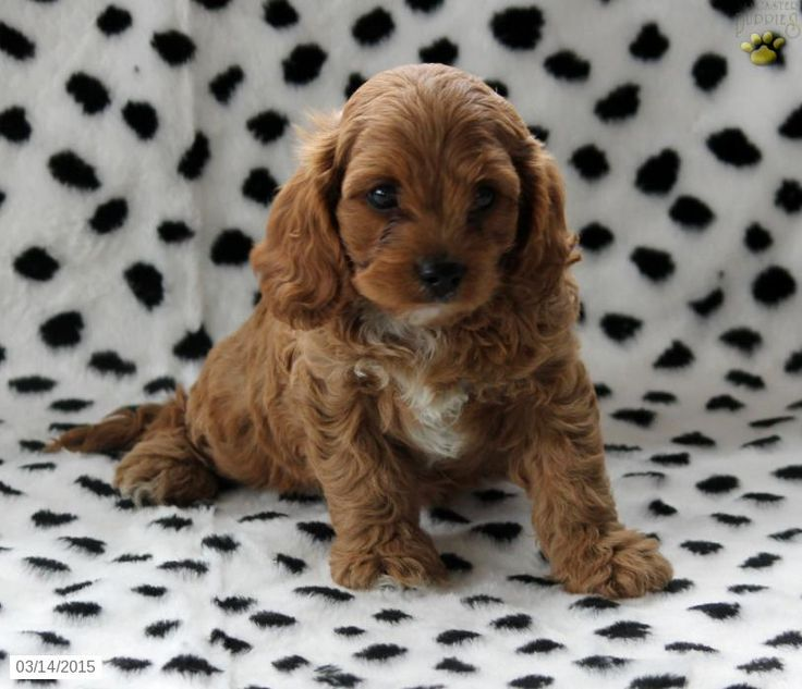Cavapoo Puppy for Sale in Pennsylvania Cavapoo puppies