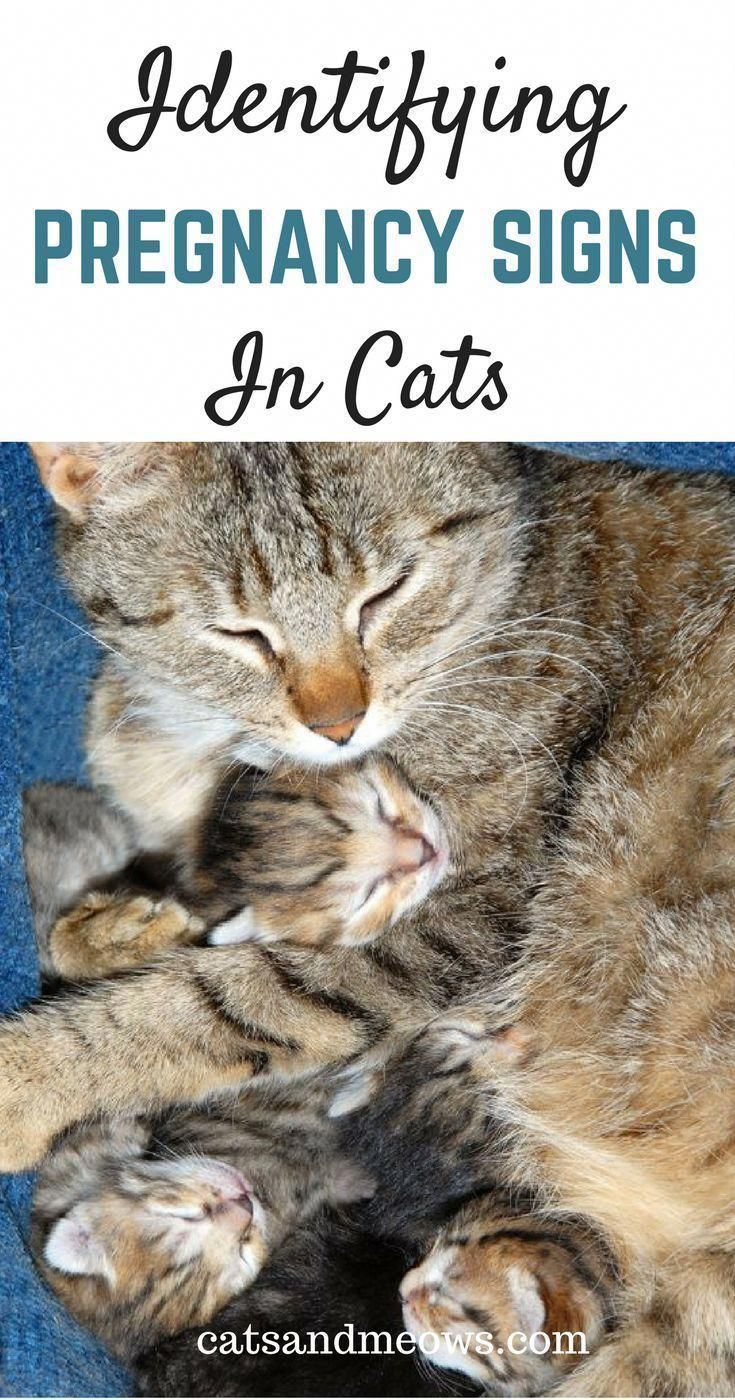 Do you suspect your cat is expecting kittens there are