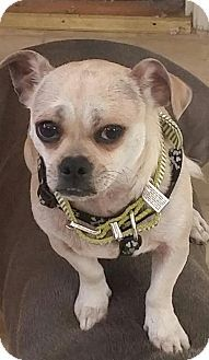 Pug/Chihuahua Mix Dog for adoption in Concord, California - Otis