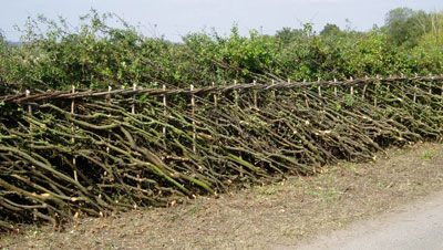 hedge plants - for a living fence and coppicing or laying a hedge (wheaton laboratories forum at permies)