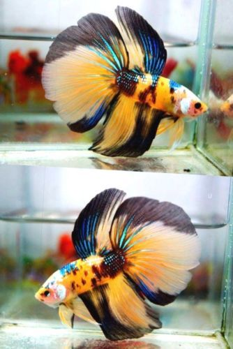 Best 25 betta fish ideas on pinterest betta types of for List of fish that can live with bettas
