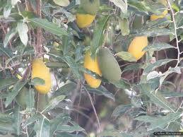 CALDEIRÃO DE PLANTAS MEDICINAIS: Uxi Amarelo – Propriedades Medicinais