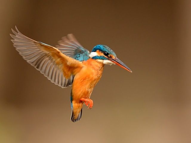 Kingfisher in Flight                                                                                                                                                                                 More