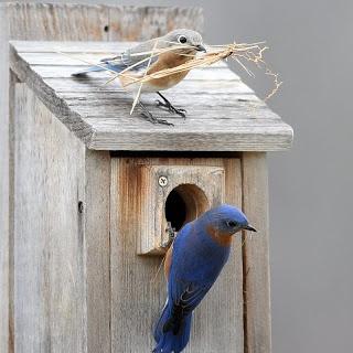 Bluebirds Nesting