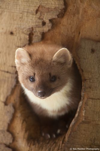 Image result for european pine marten baby