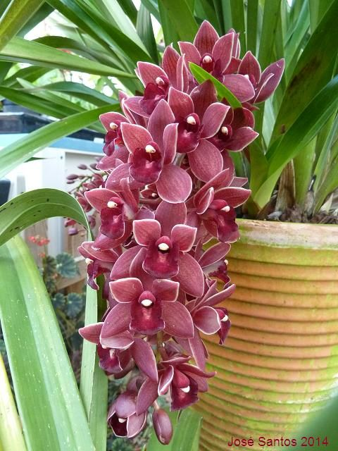 Cymbidium Dorothy Stockstill Quot Forgotten Fruit Quot Cymbidium