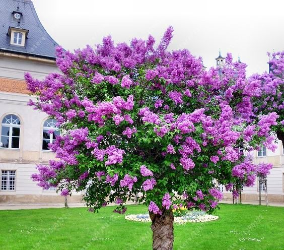 100 pcsbag lilac seed purple japanese lilac extremely fragrant clove flower seeds japanese lilacplants for homelilac treegarden. beautiful ideas. Home Design Ideas
