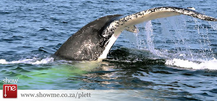 Whale season in Plett brings these majestic animals to our shore  #whales #plett #marinelife #photography #showme