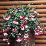 Fuchsia. Frodig sommerblomst med blomster i røde og hvide nuancer fra maj til oktober. Fås både med hængende og opret vækst. Placeres i let skygge til skygge og på en lun vokseplads. Vandes og gødes rigeligt. Velegnet i krukker, ampler, altankasser og udplantet i haven.