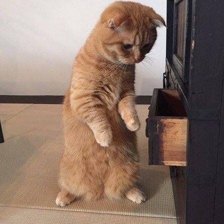 朕的國庫怎麼空了! 貓主子打開抽屜撈零食落空震怒 | ETtoday寵物動物新聞 | ETtoday 新聞雲
