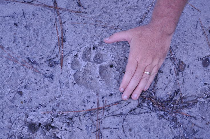 Large Coyote Track