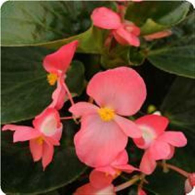 Check Out The Deal On Begonia X Hybrida Bronze Leaf Whopper Rose 162 Hd 160 Seed Tray Std At Hazzard S Plants In 2020 Plants Annual Plants Begonia