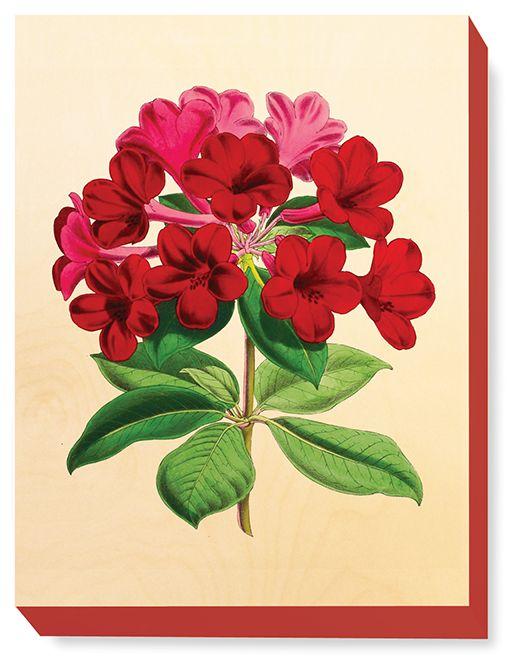 FLW 031 Vintage Flower Rhododendron Duchess of Edinburgh