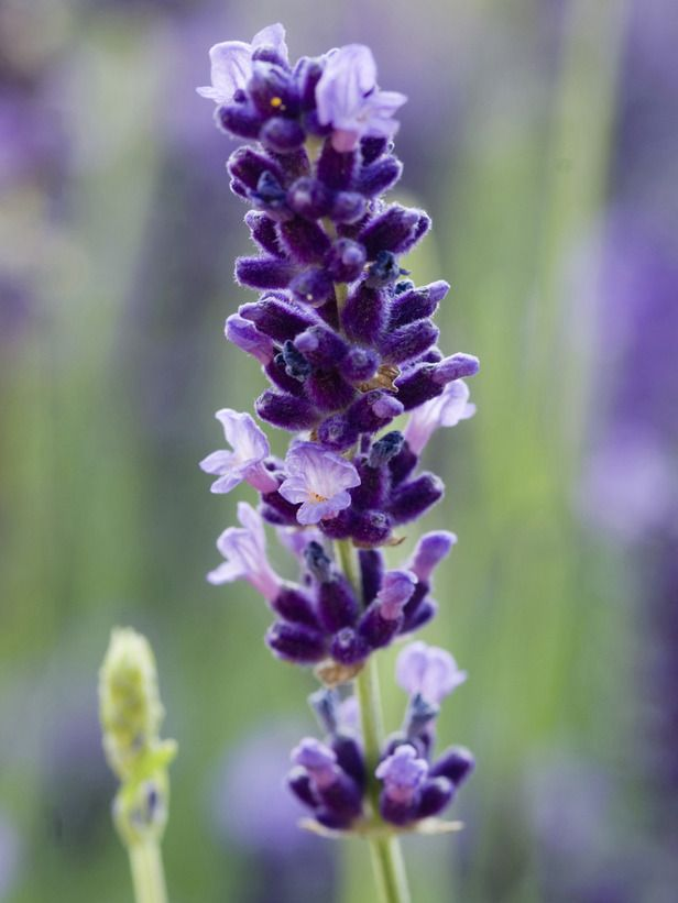 Livin' In The Green: How to Make Free Lavender Plants for the Garden...