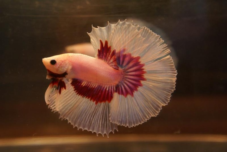 17 best images about animals water bettas and other for Healthy betta fish