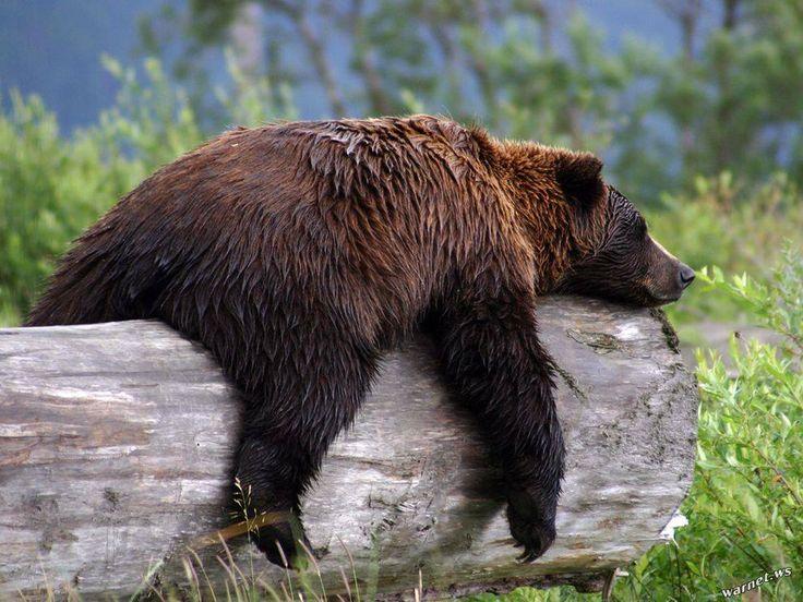 Доброе утро, смешные картинки медведей